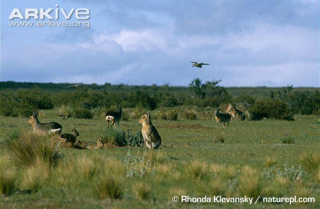 Patagonian-mara-community-protecting-dens-from-burrowing-owls